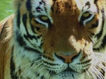 Replay Le tigre de bengale - Zoofari