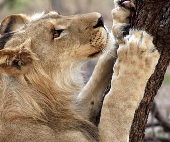Devenir lion replay