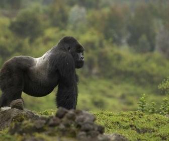 Les derniers gorilles de montagne replay